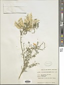 view Sutherlandia microphylla Burch. ex DC. digital asset number 1