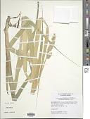 view Carex stipata var. maxima Chapm. ex Boott digital asset number 1