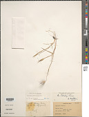 view Aegilops umbellulata Zhuk. digital asset number 1