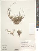 view Muhlenbergia ligularis (Hack.) Hitchc. digital asset number 1