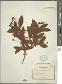 view Hypericum monogynum L. digital asset number 1