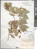 view Pristimera verrucosa (Kunth) Miers digital asset number 1