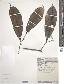 view Neea ovalifolia Spruce ex J.A. Schmidt digital asset number 1