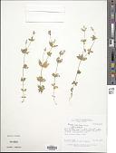view Polygala asperuloides Kunth digital asset number 1