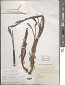 view Meconopsis lancifolia Franch. ex Prain digital asset number 1