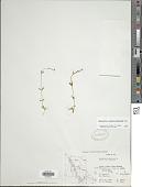 view Epilobium anagallidifolium Lam. digital asset number 1