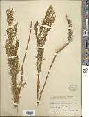 view Artemisia dracunculoides Pursh digital asset number 1