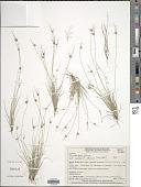 view Rhynchospora pilosa Boeckeler digital asset number 1