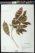 view Allophylus punctatus (Poepp.) Radlk. digital asset number 1