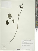 view Asystasia gangetica (L.) T. Anderson digital asset number 1
