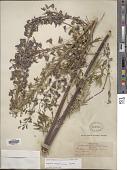 view Delphinium novomexicanum Wooton digital asset number 1