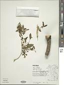 view Lycianthes acutifolia (Ruiz & Pav.) Bitter digital asset number 1