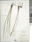 view Carex geyeri Boott digital asset number 1