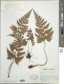 view Polystichum puncticulatum Alderw. digital asset number 1