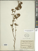 view Tibouchina longifolia (Vahl) Baill. digital asset number 1