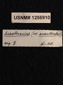 view Acanthoscina acanthodes digital asset number 1