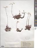 view Saxifraga tricuspidata Rottb. digital asset number 1