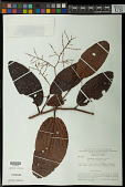 view Symmeria paniculata Benth. digital asset number 1