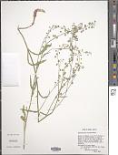 view Thysanocarpus curvipes Hook. digital asset number 1