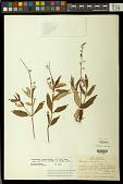 view Galphimia australis Chodat digital asset number 1