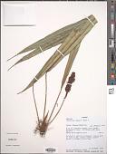view Anthurium bakeri Hook. f. digital asset number 1