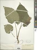 view Eurybia macrophylla (L.) Cass. digital asset number 1