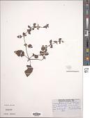 view Lindenbergia muraria (Roxburgh ex D. Don) Brühl digital asset number 1