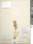 view Hymenoxys richardsonii var. floribunda (A. Gray) K.F. Parker digital asset number 1