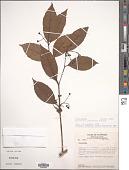view Mollinedia viridiflora Tul. digital asset number 1