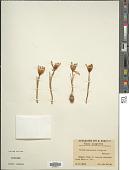 view Crocus variegatus Hoppe & Hornsch. digital asset number 1