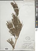 view Pinus glabra Walter digital asset number 1