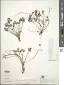 view Oxalis megalorrhiza Jacq. digital asset number 1