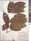 view Connarus semidecandrus var. gaudichaudii (DC.) Fosberg digital asset number 1