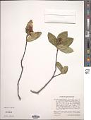 view Sorbus chamaemespilus (L.) Crantz digital asset number 1