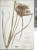 view Cyperus odoratus L. digital asset number 1