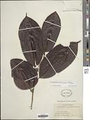 view Chrysophyllum argenteum subsp. panamense Jacq. digital asset number 1