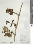 view Aegiphila macrantha Ducke digital asset number 1