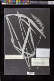 view Gymnostichum californicum Bol. ex Thurb. digital asset number 1