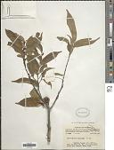 view Chrysophyllum roxburghii G. Don digital asset number 1