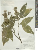 view Barleria oenotheroides Dum. Cours. digital asset number 1