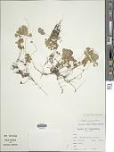 view Marsilea ancylopoda A. Braun digital asset number 1