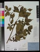 view Rubus alpestris Blume digital asset number 1