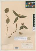 view Trillium lancifolium Raf. digital asset number 1