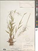 view Dichanthelium sphaerocarpon (Elliott) Gould var. sphaerocarpon digital asset number 1