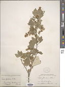 view Ribes americanum Mill. digital asset number 1