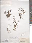 view Mazus pumilus (Burm. f.) Steenis digital asset number 1