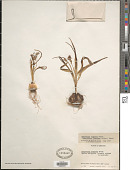 view Bellevalia flexuosa Boiss. digital asset number 1