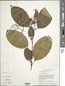 view Palicourea pakaraimensis (Steyerm.) Delprete & J.H. Kirkbr. digital asset number 1