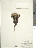 view Baccharis latifolia (Ruiz & Pav.) Pers. digital asset number 1