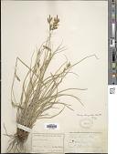 view Carex triquetra Boott digital asset number 1